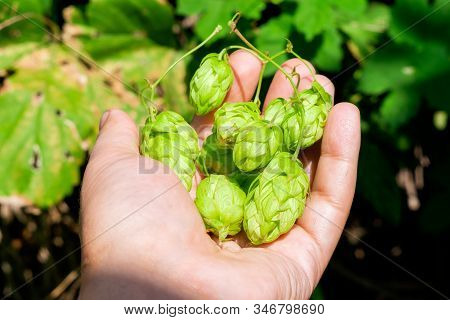 Green Fresh Hop Cones For Making Beer, Close Up. Produce Of Hops