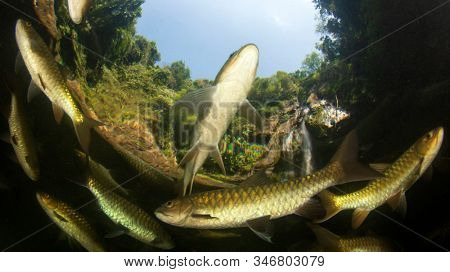 Freshwater fish: Soro Brook Carp in pond below waterfall