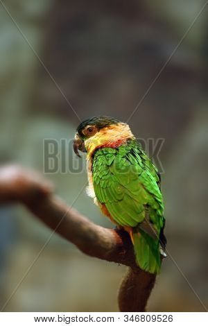 The Black-headed Parrot (pionites Melanocephalus), Also Known As The Black-headed Caique, Black-capp