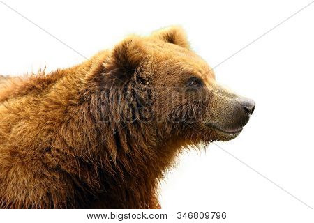 The Mainland Grizzly (ursus Arctos Horribilis) Portait Of The Big Female Bear.isolated Grizzly Portr