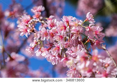 Closeup Of Wild Himalayan Cherry (prunus Cerasoides) Or Thai Sakura Flower. Pink Flower. Beautiful S