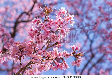 Closeup Of Wild Himalayan Cherry (prunus Cerasoides) Or Thai Sakura Flower In Field At Winter Or Spr