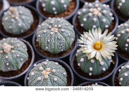 Succulents Cactus Plants. Decorative Plant With Succulents Cactus Plants. Colorful Succulents Cactus
