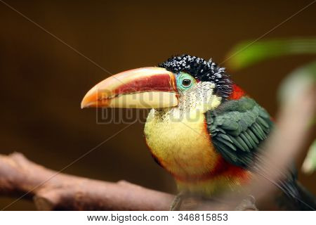 The Curl-crested Aracari, Or Curl-crested Araçari (pteroglossus Beauharnaesii), Also Known As The Cu