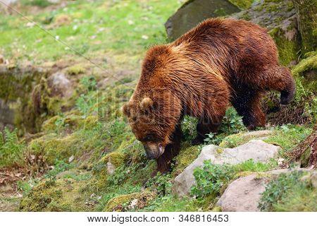 The Mainland Grizzly (ursus Arctos Horribilis) Portait Of The Big Female Bear.