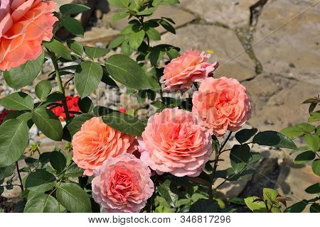 Blossoming Bush Of Salmon-colored Roses In Rose Garden With Gentle Terry Fragrant Flowers In Full Fl