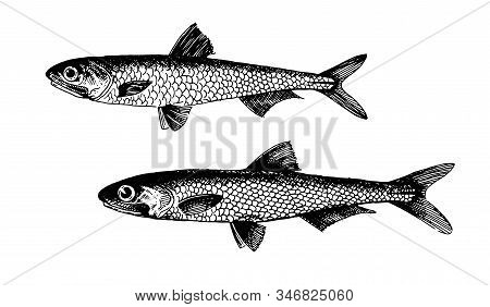 Anchovy, Fish Collection. Healthy Lifestyle, Delicious Food. Hand-drawn Images, Black And White Grap