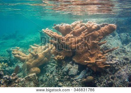 Yellow And Orange Elkhorn Coral Form A Reef In Shallow Caribbean Waters