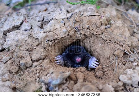 Mole Crawling Out Of Molehill Above Ground, Showing Strong Front Feet Used For Digging Runs Undergro