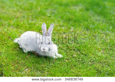 Cute Adorable Grey Fluffy Rabbit Sitting On Green Grass Lawn At Backyard. Small Sweet White Bunny Wa