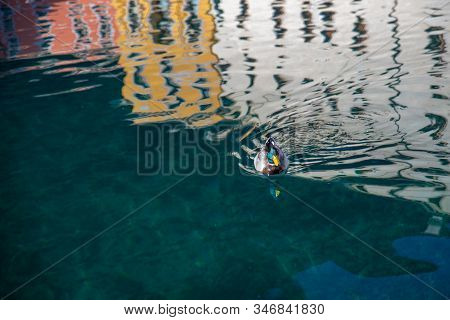 Colored Duck Swims In The Water Of Lake Garda