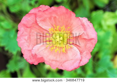 Closeup Of A Pink Poppy Stigma And Stamen