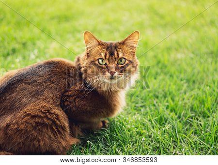 Purebred Somali Cat In The Grass Outside.