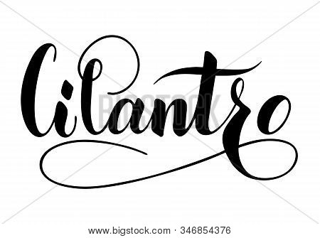 Vector Hand Written Cilantro Text Isolated On White Background. Kitchen Healthy Herbs And For Cookin