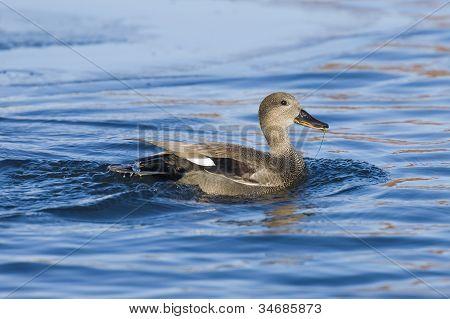Swimming Gadwall