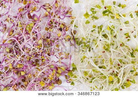 Different Types Of Healthy Sprouts Containing Natural Vitamins And Minerals. White Background