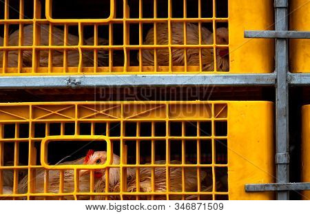Chicken Transport By Truck From Livestock Farm To Food Factory. Poultry Industry. Livestock Transpor