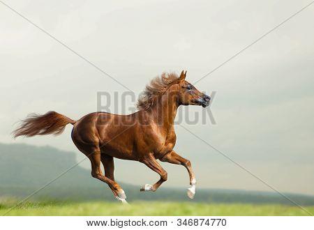 Beautiful Chestnut Arabian Stallion Running Wild. Chestnut Arabian Horse On Freedom Runs Gallop Fast