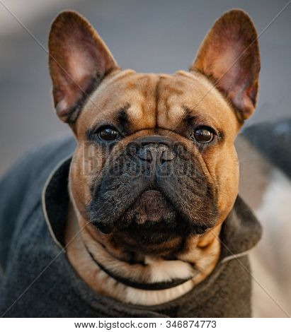 Portrait Of French Bulldog In A Coat. Fawn Color Frenchie Headshot. Cute Wrinkly Dog In A Coat