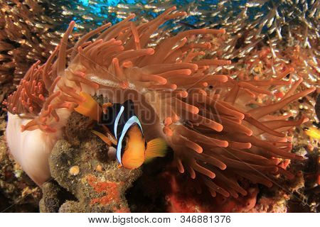 Clark's Anemonefish clownfish fish in anemone