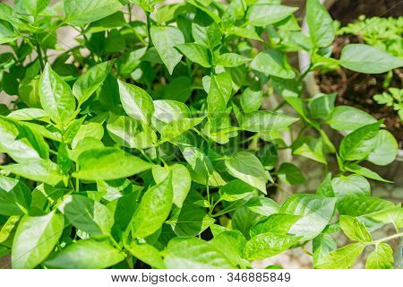 Seedling Of Bell Peper Close Up. Young Sprouts If Vegetable Plant On Farm