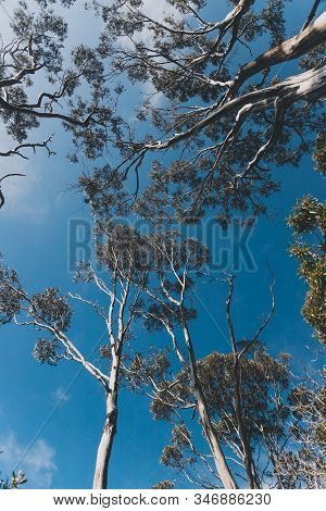 Eucalyptus Gum Tree Branches Against Contrasty Deep Blue Sky