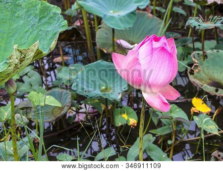 Beautiful Lotus Flower Is The Symbol Of The Buddha, Thailand.