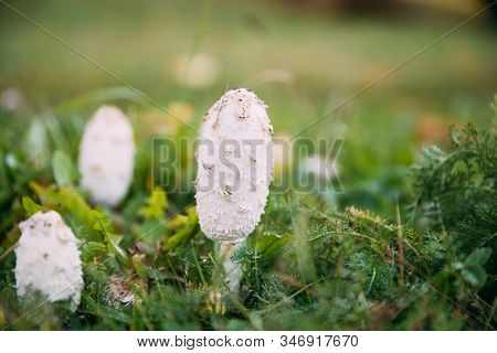 Belarus, Europe. Coprinus Comatus, The Shaggy Ink Cap, Lawyers Wig, Or Shaggy Mane, Is A Common Fung