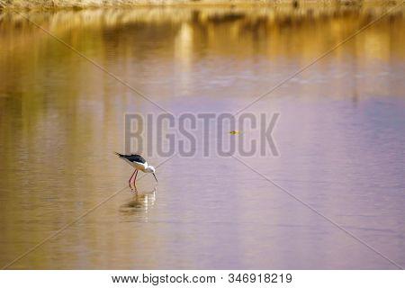 Black-winged Stilt (himantopus Himantopus) In The Eilat Ornithological Park, Southern Israel