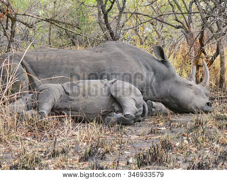 Mother Hippo And Tiny Baby Hippo Resting And Sleeping