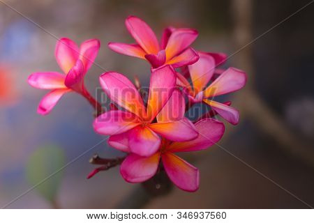 Branch Of Pink Frangipani Flowers. Blossom Plumeria Flowers On Light Blurred Background. Frangipani