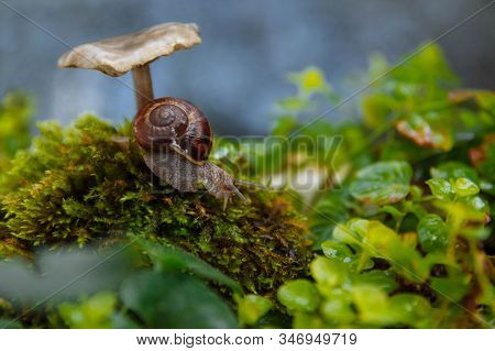 A Large Brown Snail Crawls Down A Hill Of Green Moss In The Grass And An Inedible Toadstool Mushroom