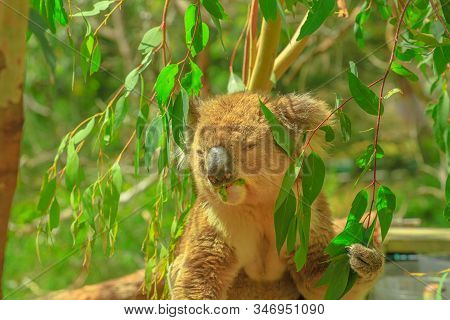 Closeup Of Male Of Koala Eating Eucalyptus Leaves At Phillip Island In Victoria, Australia. Many For
