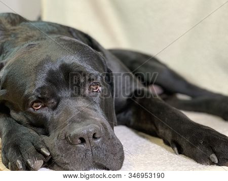 Black, Big Dog With Sad Eyes. The Purebred Dog Cane Corso Lies On The Floor. Concept: The Dog Is Wai