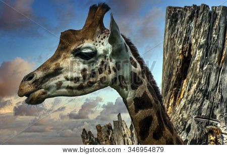 Giraffe (giraffa) Is An African Artiodactyl Mammal, The Tallest Living Terrestrial Animal And The La
