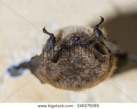 Whiskered Bat (myotis Mystacinus) Hibernating On Ceiling Of Underground Bunker In The Netherands. Hi