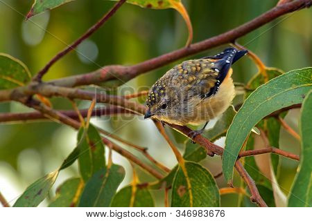 Forty-spotted Pardalote - Pardalotus Quadragintus One Of Australia's Rarest Birds And By Far The Rar