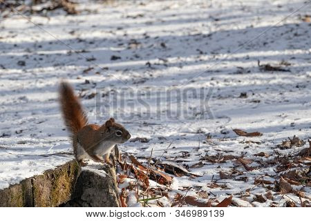 A Wild American Red Squirrel Lifts Its Tail And Stands Up On Its Hind Legs As It Cautiously Looks Ar