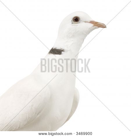 Ringneck Dove in front of a white background poster