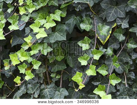 Hedera Helix Green Creeping Plant As A Background For Design.natural  Texture Of Bright Lush Ivy Fol