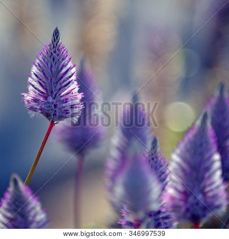 Moody Ethereal Australian Native Purple Ptilotus Exaltatus Joey Wildflowers, Family Amaranthaceae. C