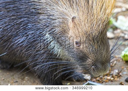 Close-up Portrait Of The Indian Crested Porcupine (hystrix Indica). Wildlife And Nature Photography