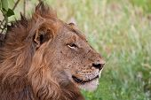 Male lion lying in the shade staring in front of him poster