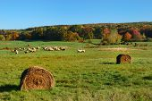 Field with hay rolls and in distance sheep poster