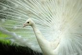 a close-up of a white peacock. poster