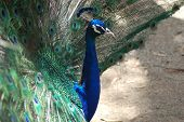 a male peacock viewed from side-on. poster