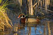 Drake Wood Duck foraging in shallow water poster