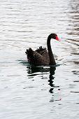 Black swan swim in lake in Lake Eola in Downtown Orlando, Florida. poster