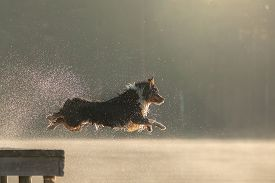The Dog Jumps Into The Water. Australian Shepherd On A Wooden Walkway On A Lake. Pet In Nature, Move