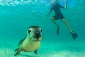 Australian Sea Lion and young woman snorkeling